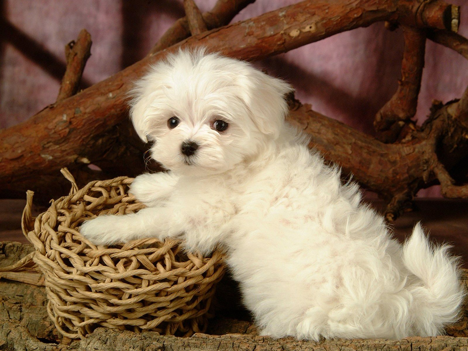 Maltese Puppies Wallpapers 53 Top Free Maltese Puppies Hd Wallpaper For Laptop Maltese Puppy Maltese Dogs Dogs And Puppies