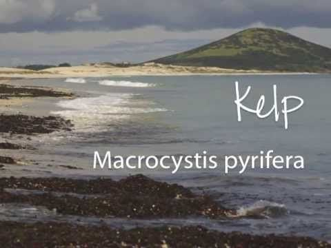 Kelp | Living Nature