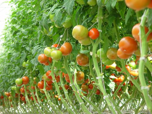 Tomato System We Use In Our Greenhouses Crop King