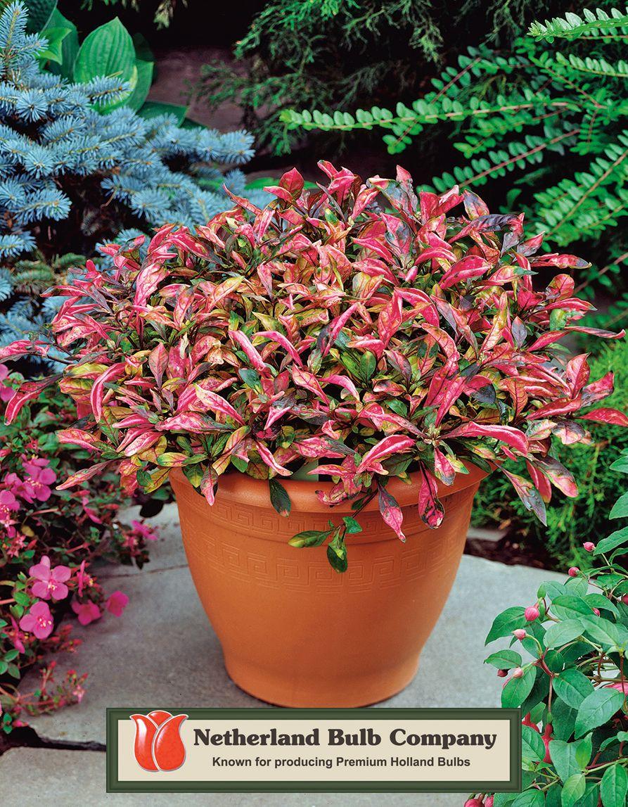 Marginal alternanthera ficoidea raspberry swirl joseph 39 s for Best aquatic plants