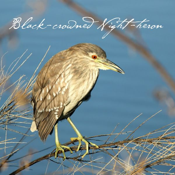 Black-crowned Night-heron  #GBWC #SaveBirds #BirdConservation #SaveLife #GujaratBirds #BirdLife #Birds