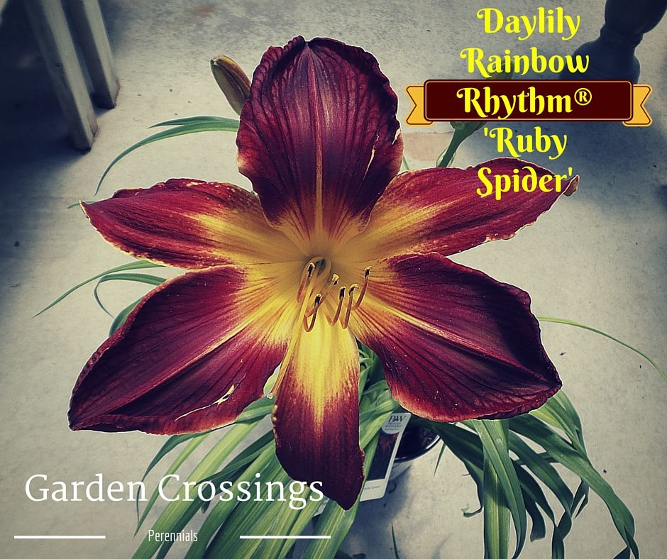 Seeing is believing!  This beauty boasts a large bloom that expands over the width of my hand!  Gorgeous flower power and colors of deep ruby red and golden yellow color.  A perennial that definitely puts on a show.  http://www.gardencrossings.com/plantname/Hemerocallis-Ruby-Spider