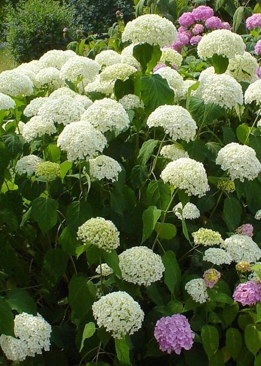 9 Frequent Hydrangea Questions Answered Hydrangea Landscaping Plants Hydrangea Care