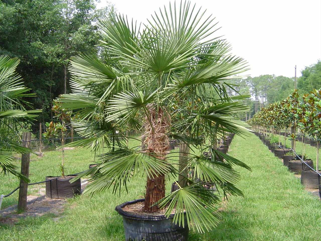 Trachycarpus Fortunei- Windmill Palm. has been cultivated in the ...