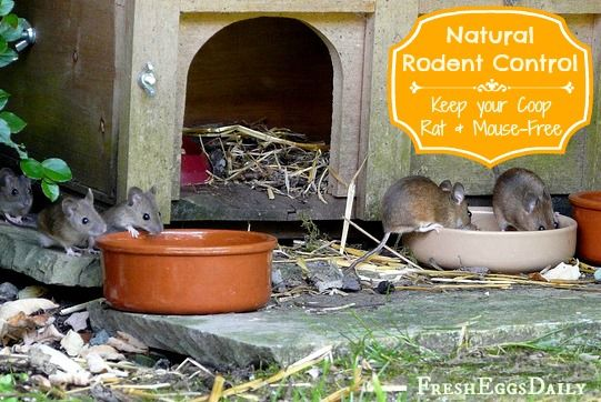 Got Mice in your Coop? Here are some natural rodent deterrents.