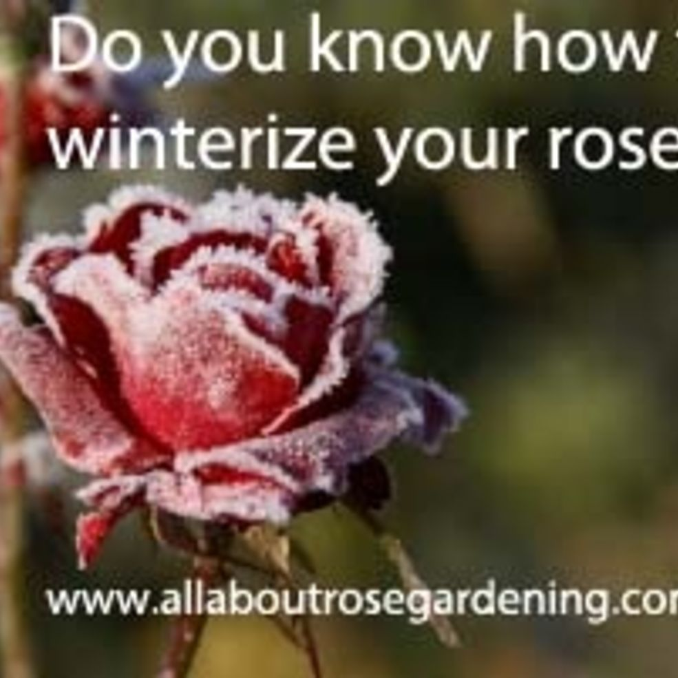 winterizing garden roses cold climate gardening rose and gardens
