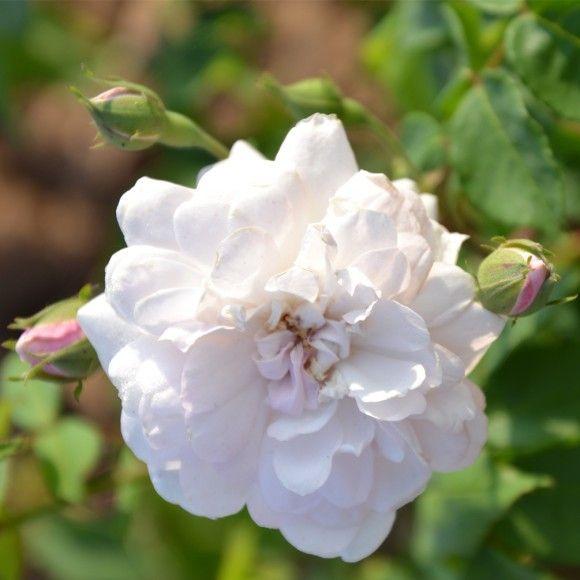 blush noisette les roses anciennes rosier rosier. Black Bedroom Furniture Sets. Home Design Ideas