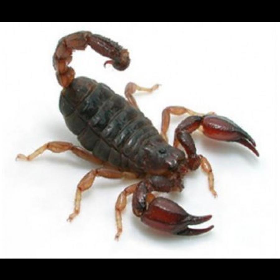Black Rock Scorpions Aracnideos