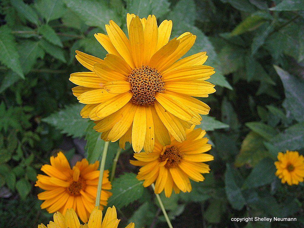 False sunflowers.