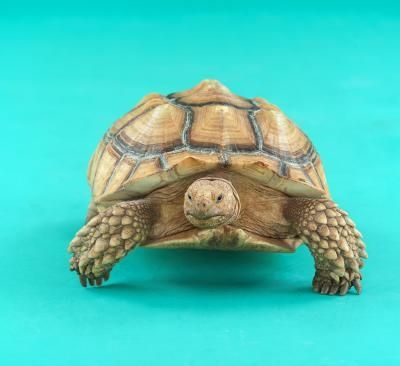 How To Tell The Gender Of Baby Sulcata Tortoises Sulcata