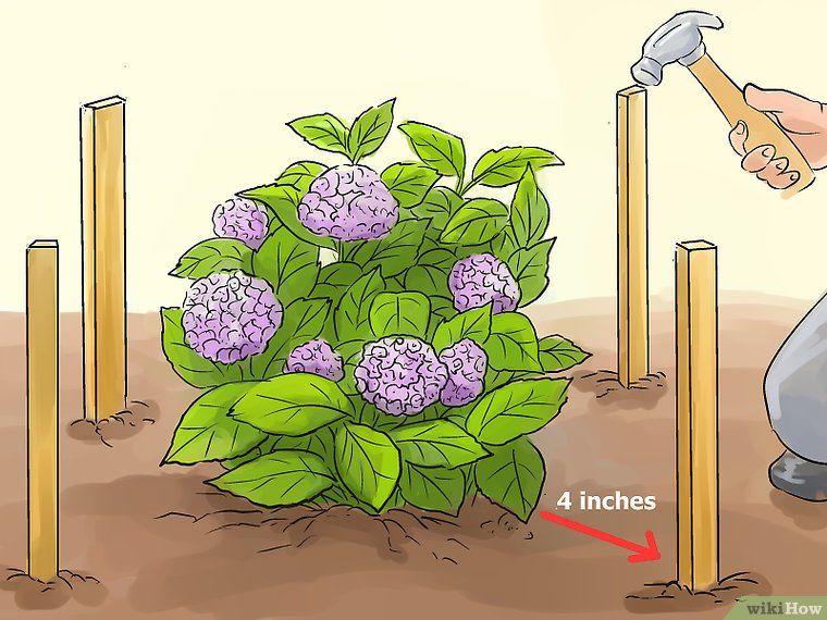 How to Prepare Hydrangeas for Winter