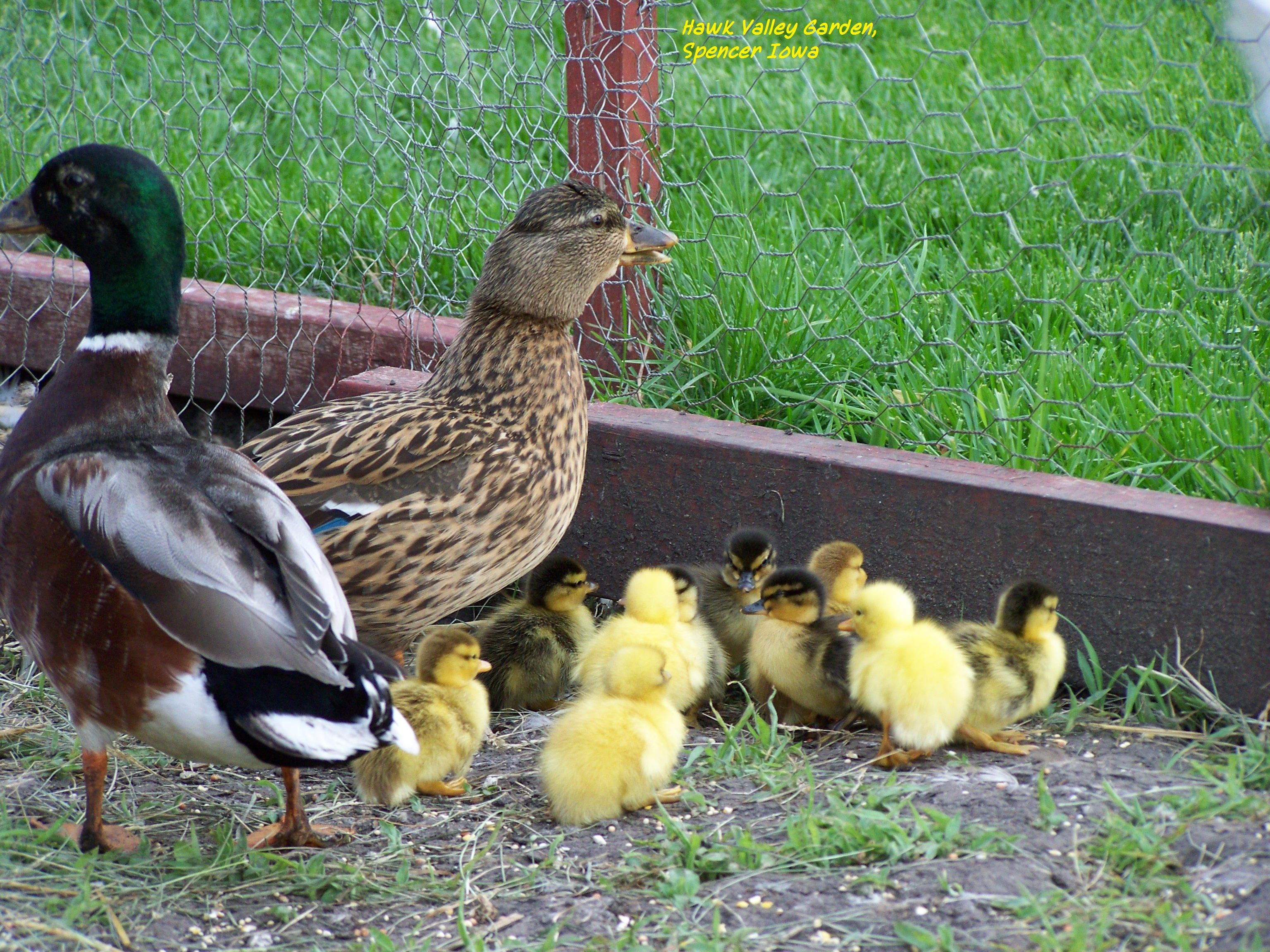 17 best call ducks images on pinterest poultry animals and