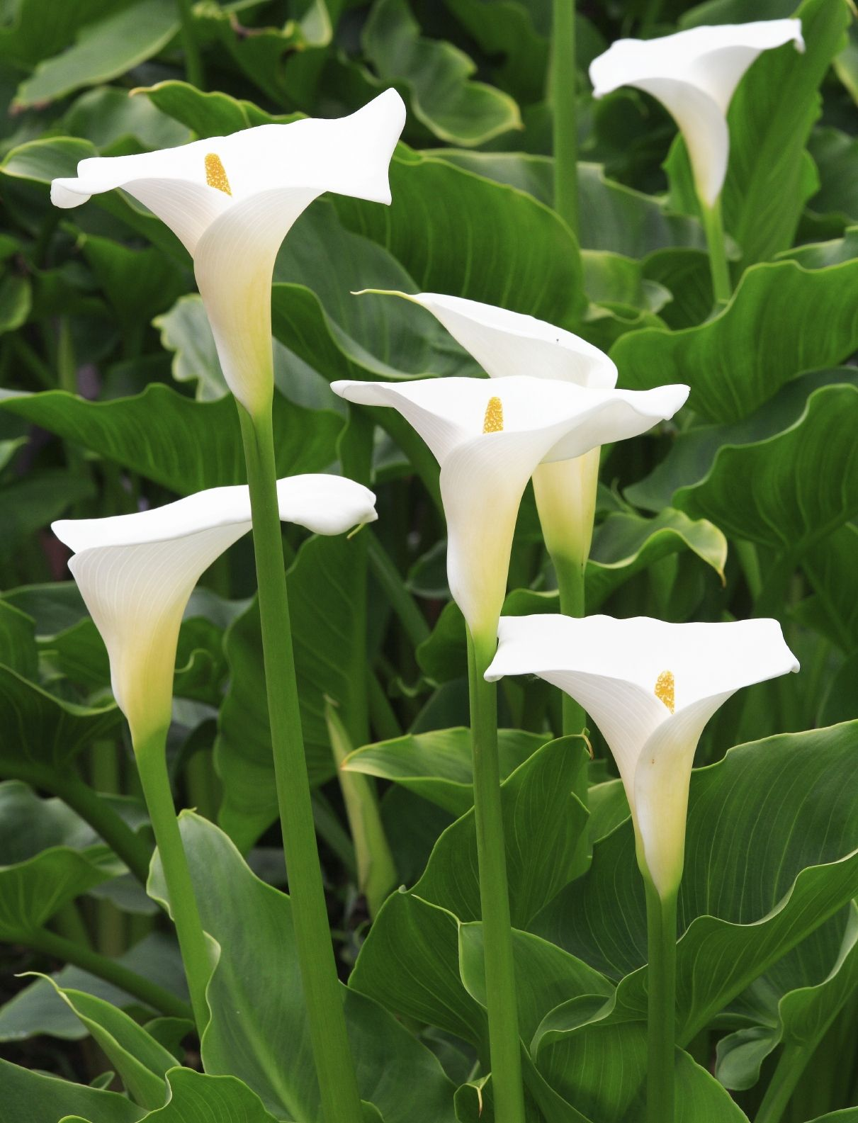 Do You Deadhead Calla Lily Plants Removing Spent Blossoms On Calla Lilies Lily Plants Calla Lily Bulbs Zantedeschia Aethiopica