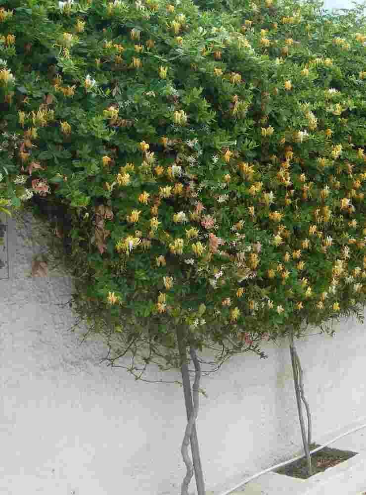 Plantas trepadoras para jardines verticales jardin for Plantas usadas para jardines verticales