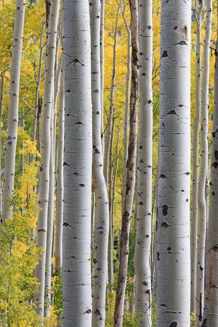 Birch trees are prized for being able to thrive in areas