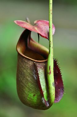 Nepenthes / Carnivorous~ PlantsNepenthes bicalcarata also known as the Fanged Pitcher-Plant, is a tropical endemic pitcher plant to northwestern Borneo~—Sofia yu's Blog