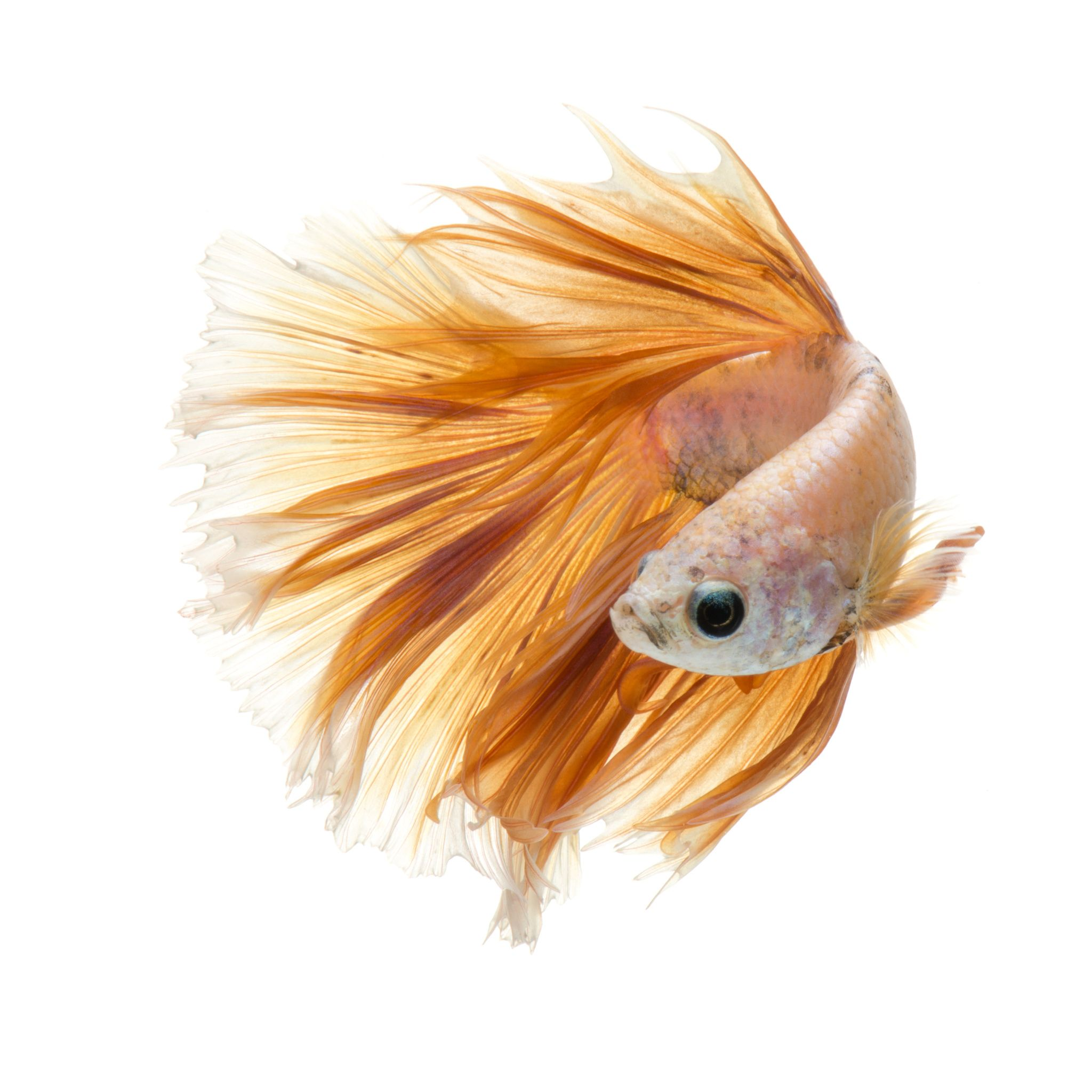 Moon Capture The Moving Moment Of Peach Color Siamese Fighting Fish Isolated On White Background Betta Fish Fish Of Betta Fish Siamese Fighting Fish Betta
