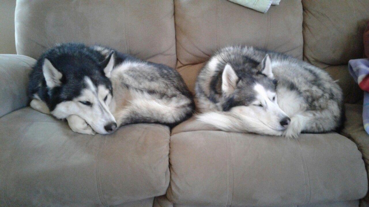 Husky Frases: Animales, Perros Y Perruno