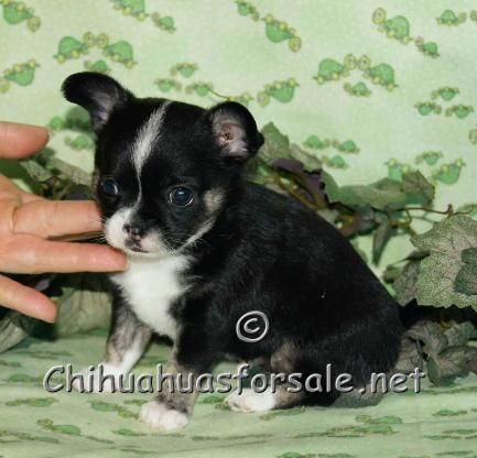 Zayden Black And Tan Tri Smooth Coat Chihuahua Chihuahua For Sale