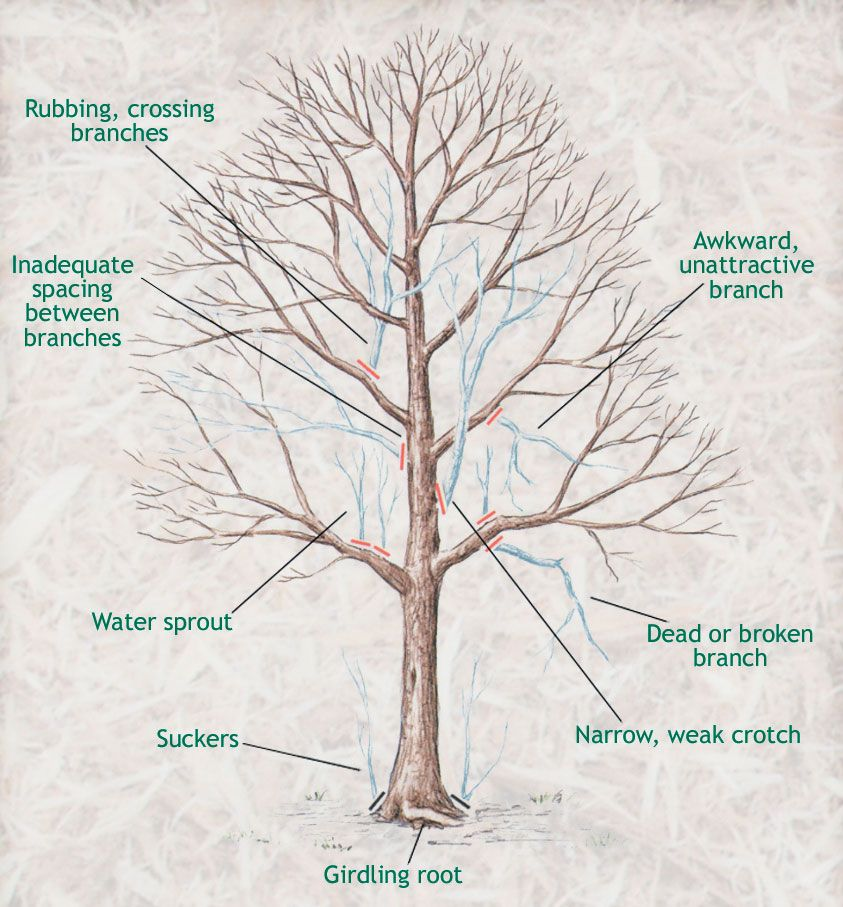 When To Prune Trees Wait Until The Coldest Part Of Winter Has Ped But Before Vigorous Growth Starts In Early Spring February March