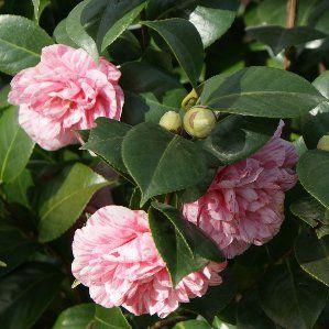Camellia japonica nombre popular camelia tipolog a for Arbustos de hoja perenne resistentes al frio