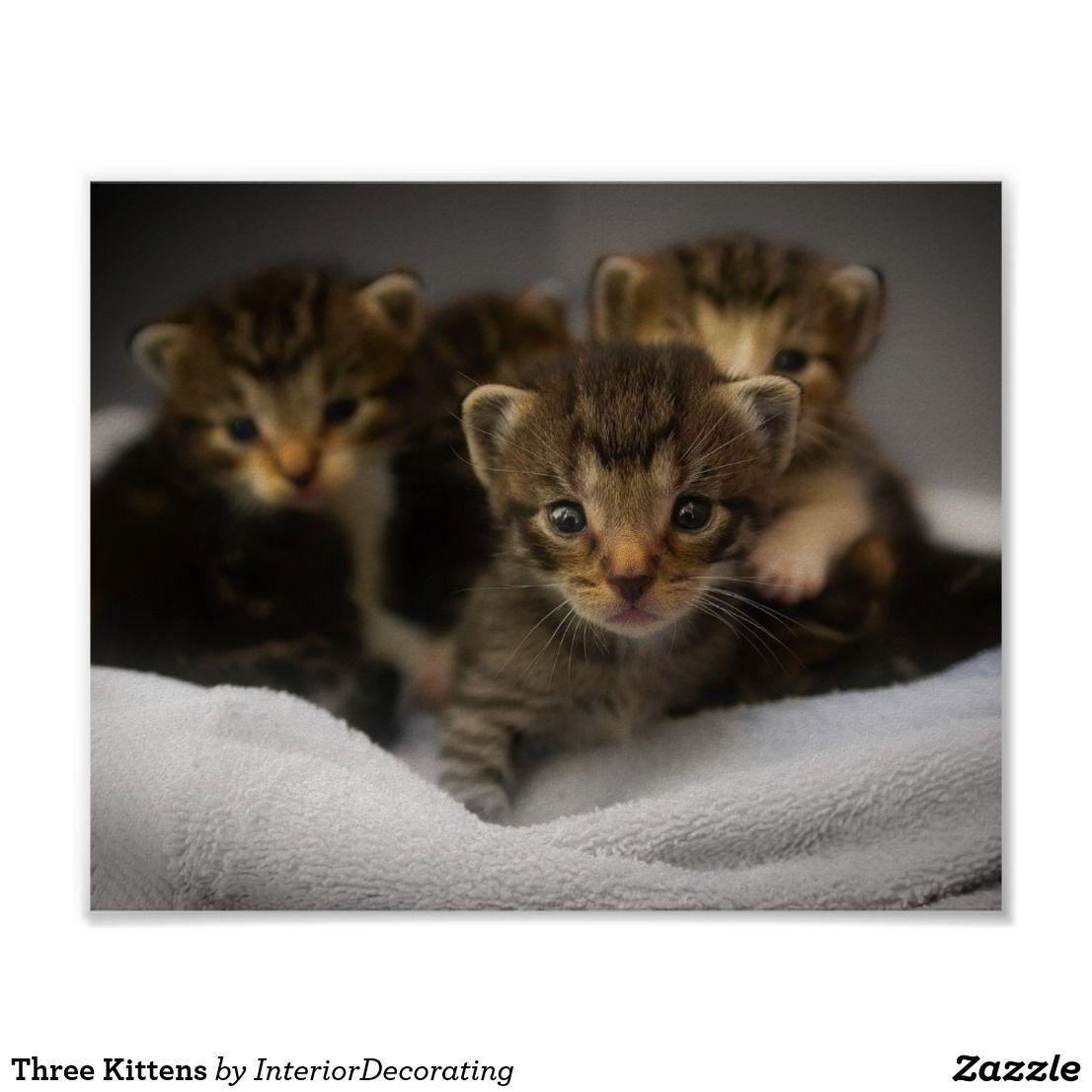 Tabby Kitten Three Kittens Poster Shop Three Kittens Poster