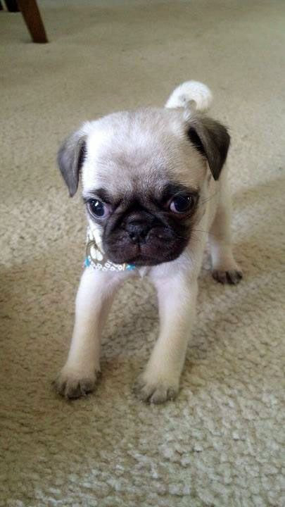 Itty Bitty Baby Pug Clean Pug Pug Love Dog Doggie Puppy Boy