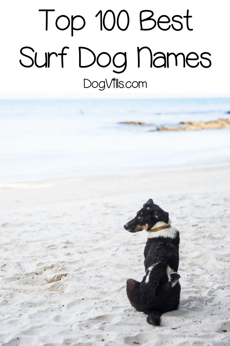 Top 100 Surf Dog Names For Beach Loving Pups Dogvills Dog