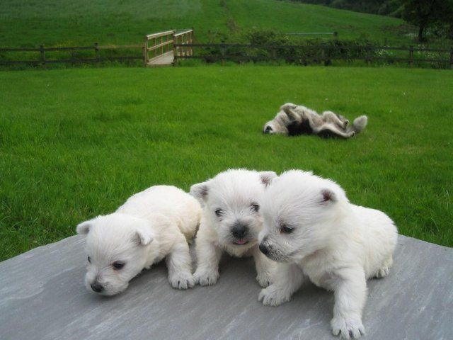 West Highland Terrier Pups For Sale In Carmarthen Carmarthenshire