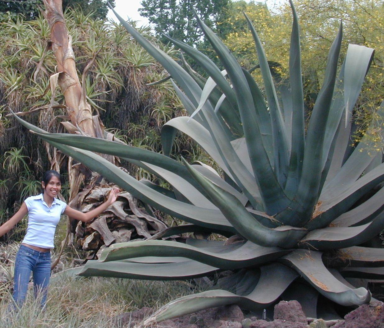 Mystical Giant Maguey Agave Plant Succulents Garden Plants Planting Flowers Cactus