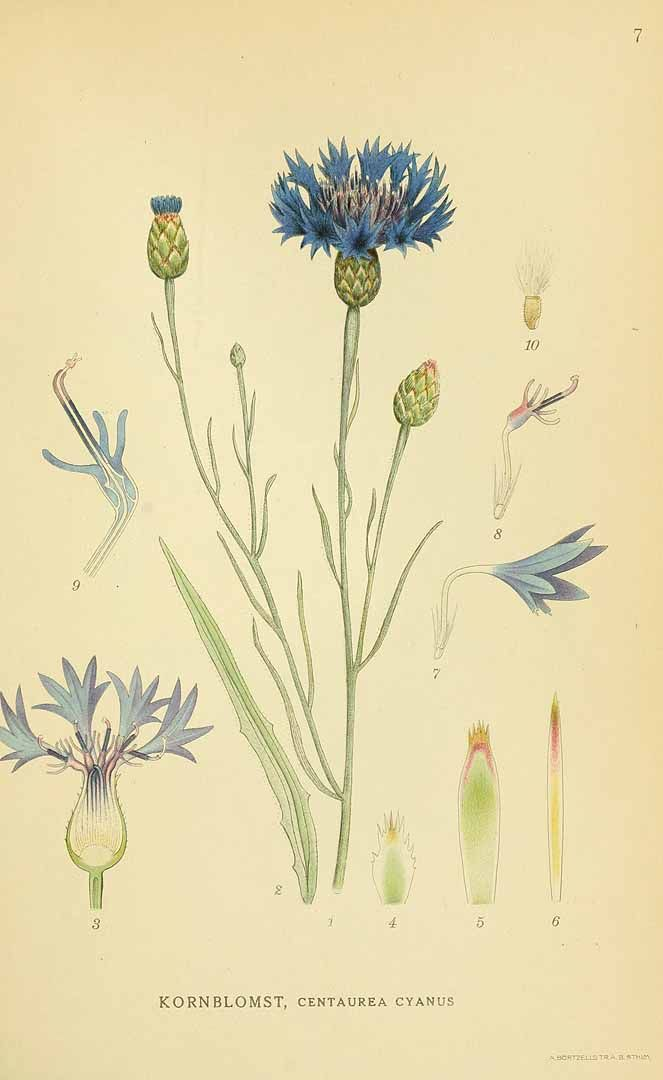 131263 Centaurea Cyanus L Lindman C A M Bilder Ur Nordens Flora Vol 1 T 7 1922 1926 Botanical Drawings Botanical Painting Botanical Illustration
