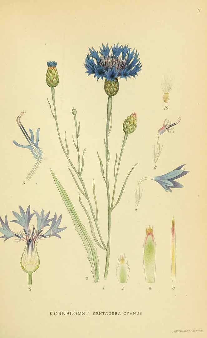 131263 Centaurea Cyanus L Lindman C A M Bilder Ur Nordens Flora Vol 1 T 7 1922 1926 Botanical Drawings Botanical Painting Botanical Illustration