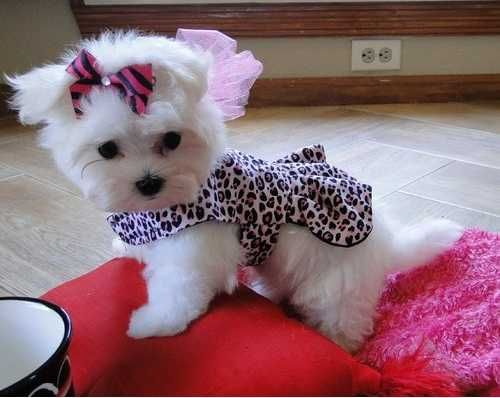 Maltese Puppy For Sale In Fullerton Ca Adn 69322 On Puppyfinder