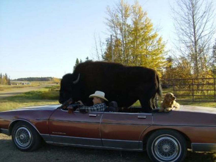 Pet Buffalo Likes To Ride in a Car and Drink Beer at the Pub - http://www.weirdlife.com/pet-buffalo-likes-to-ride-in-a-car-and-drink-beer-at-the-pub/