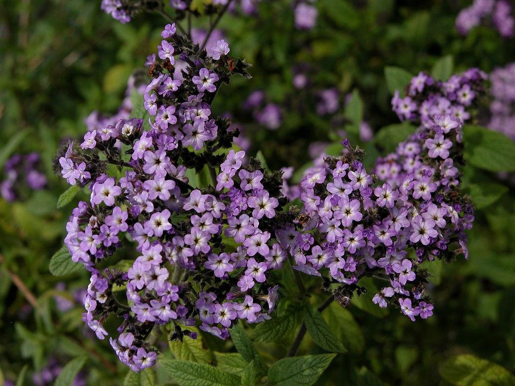 Heliotrope flower: photo with description, features of planting and care 37