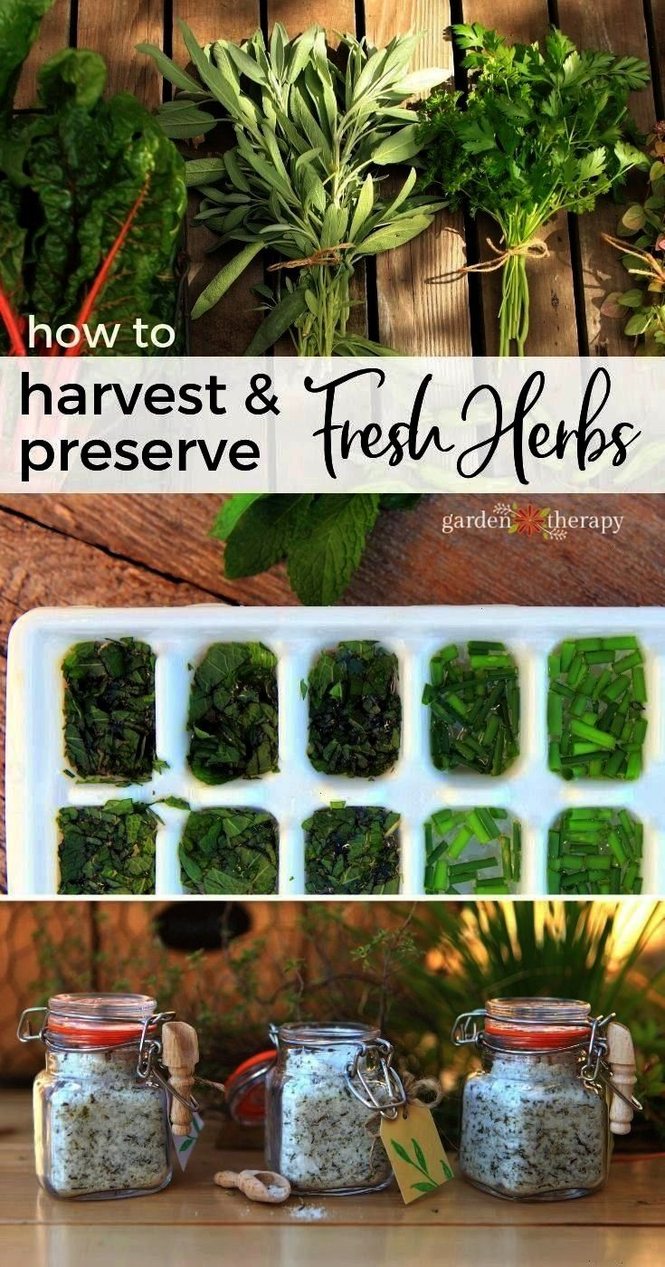 and Preserve Fresh HerbsfreshHow to Harvest and Preserve Fresh Herbsfresh Extend your vegetable garden into fall and you will be rewarded with fresh harvests a little lon...