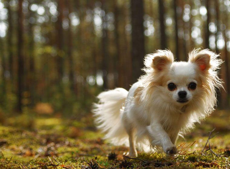 Chihuahua Rasseportrait im Hunde Magazin Hunde