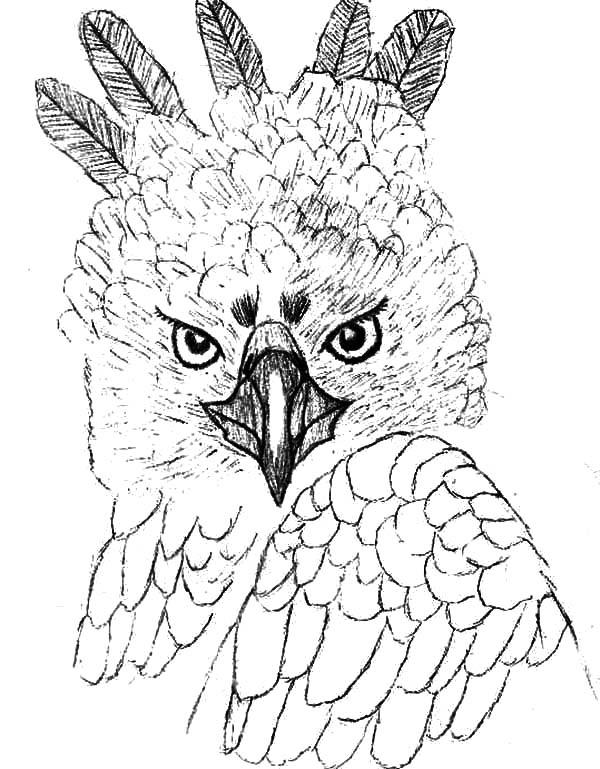 Unique Head Feather Of Harpy Eagle Coloring Pages Coloring Sun In 2020 Animal Coloring Pages Coloring Pages Owl Coloring Pages