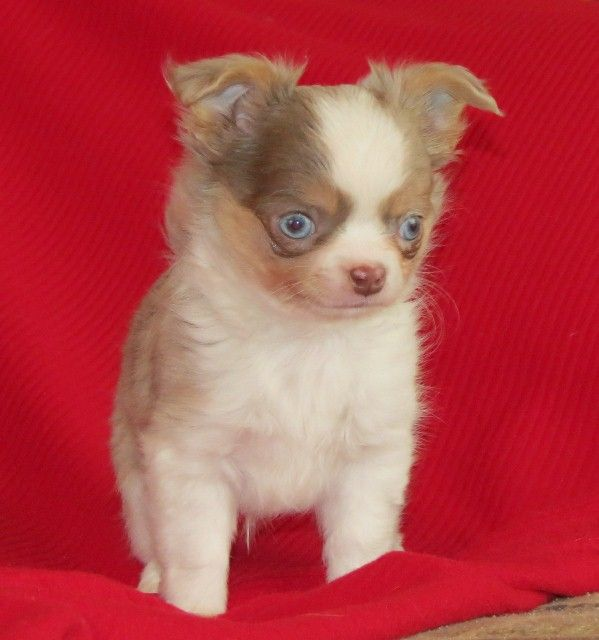 Tiffany X Will Longcoat Lavender Merle Male Chihuahua Puppy