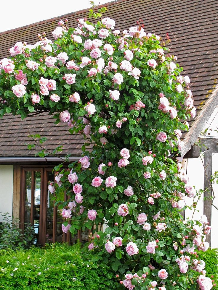 Top 10 beautiful climbing plants for fences and walls gardening with spring in its bloom this is the time when the climbers give the best of them blooming flowers in white pink blue and other colors gardening mightylinksfo