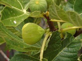 The Best Fig Trees To Grow In South Texas Thumbnail