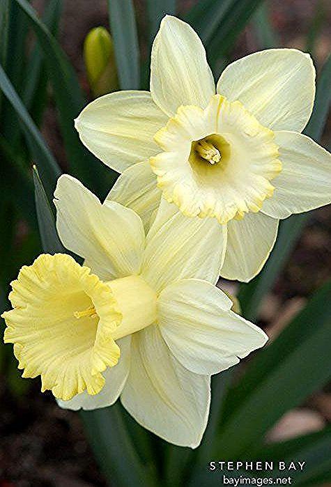 Narcissus 'Lemon glow', Daffodil. Such a soft yellow. -  Narcissus 'Lemon glow', Daffodil. Such a soft yellow.  - #Clematis #daffodil #Daffodils #EnglishRoses #Gladioli #Glow #Irises #lemon #narcissus #Soft #Tulipi #yellow