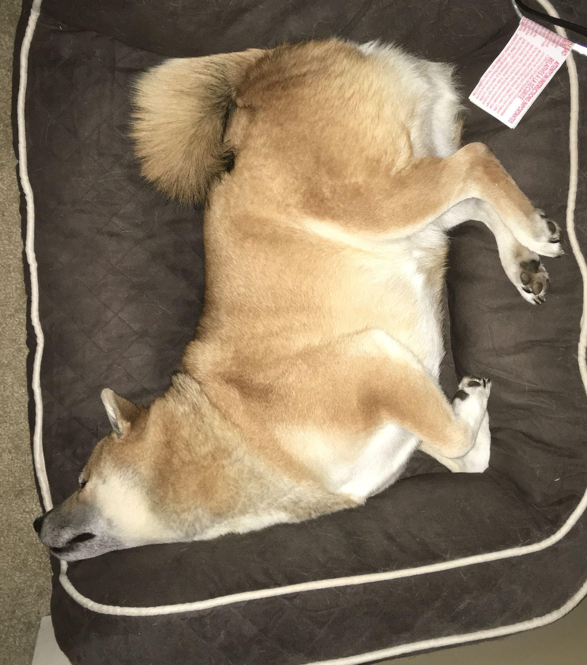 Momo sleeping shiba inu i love dogs doggy