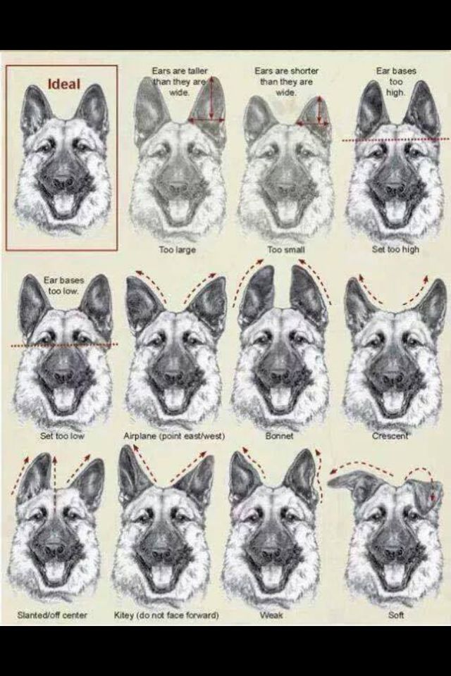 dog ear chart - Bare.bearsbackyard.co