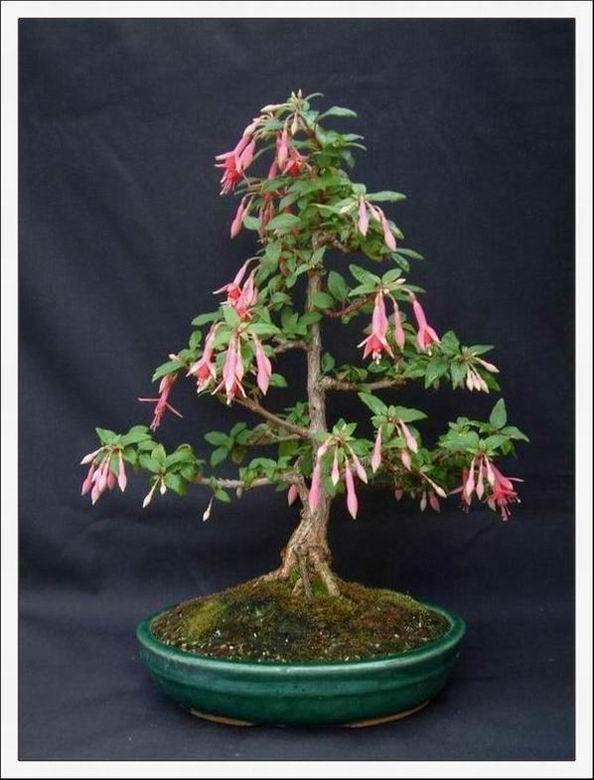 Fuchsia Bonsai : fuchsia, bonsai, Garden, Forum:, Anyone, Tried, Brugmansias?, Bonsai, Tree,, Plants,, Flower