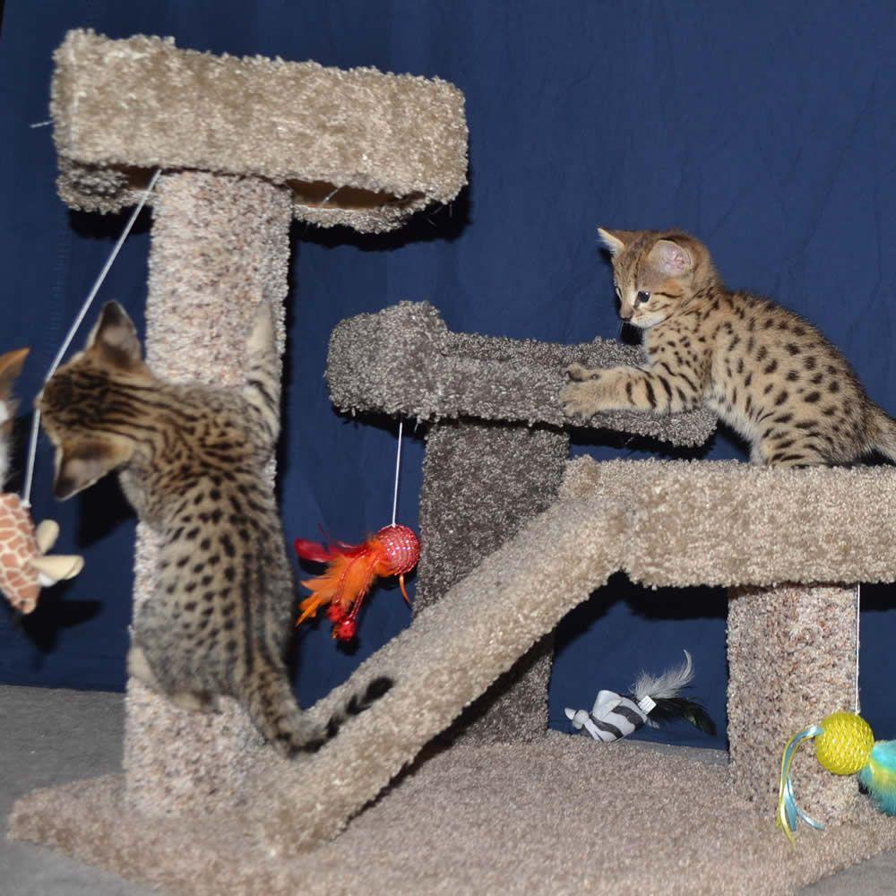 Savannah Kittens Playing Savannah Kitten Savannah Cat Savannah