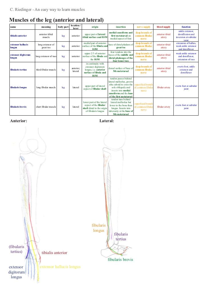 An Easy Way To Learn Lower Limb Muscles Anatomy Pinterest