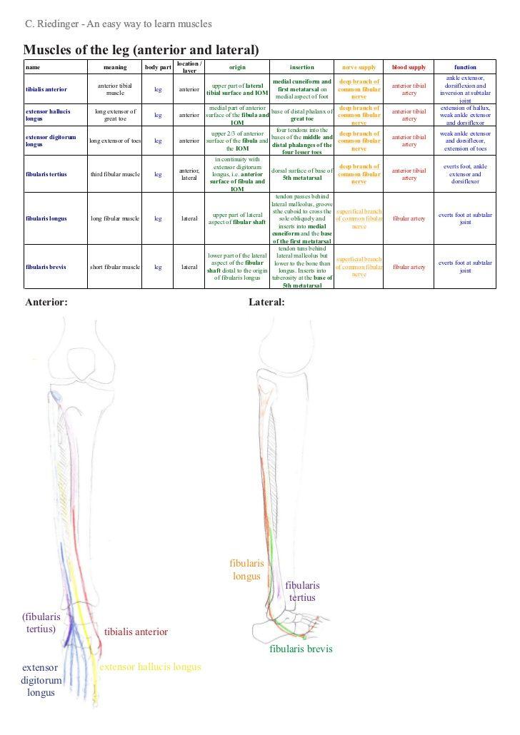 An Easy Way To Learn Lower Limb Muscles Anatomy Lower Limb