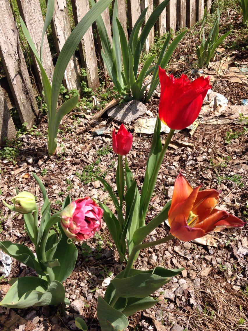 Tulips my heart!