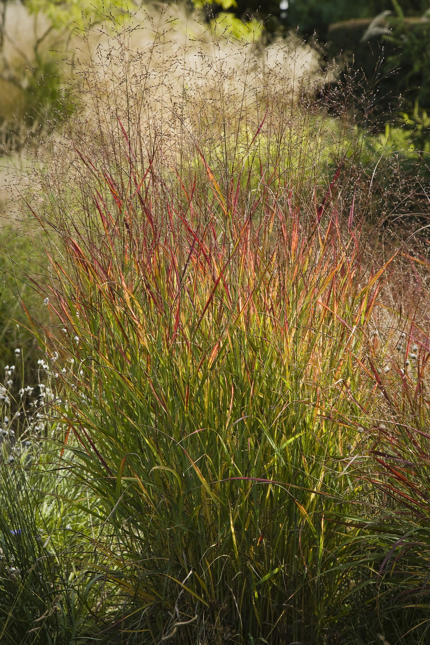 8 Best Ornamental Grasses To Add Privacy To The Garden Tall Grass Landscaping Grasses Landscaping Privacy Landscaping